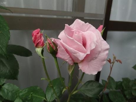 DSC06285桜貝