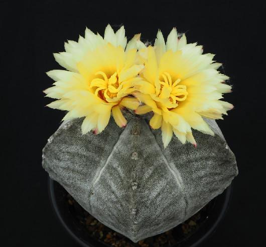 白ランポー玉の花2018