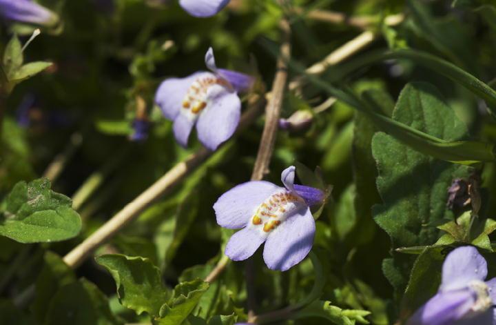 紫ごけ-643