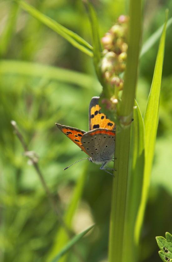 シジミ蝶-612