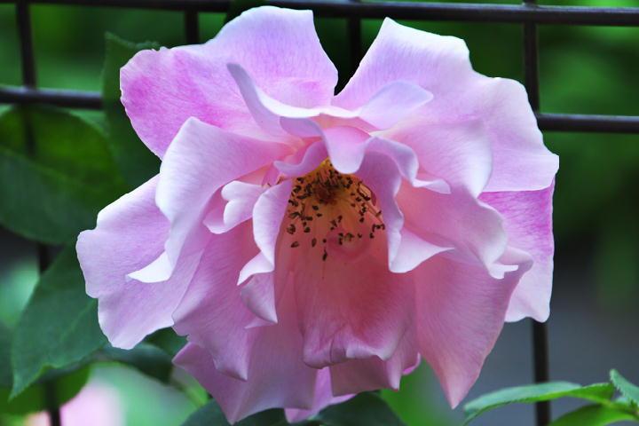 薔薇-832