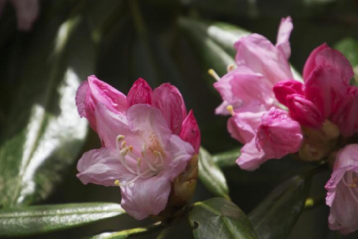 石楠花-091