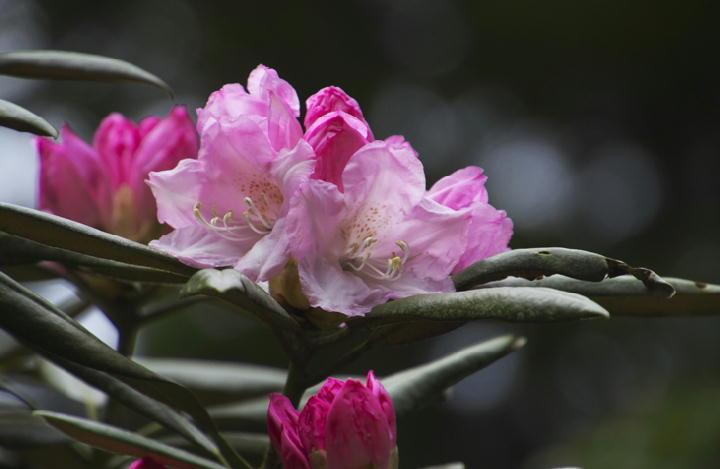 石楠花-094