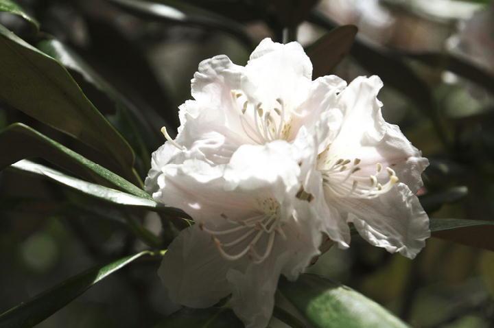 石楠花-092
