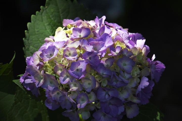 紫陽花-186