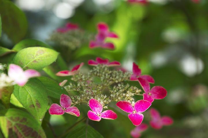 紫陽花-227