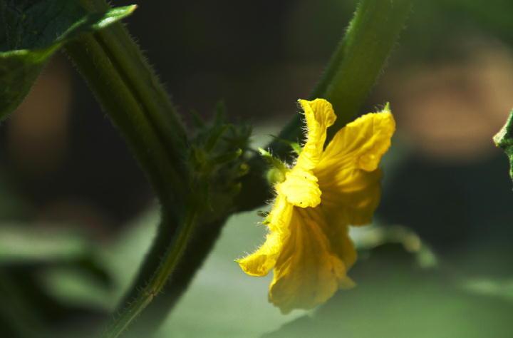 キュウリの花-266