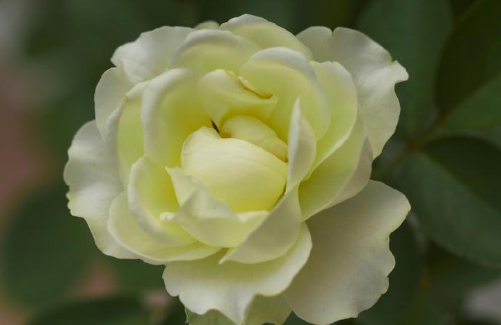 ミニ薔薇-655