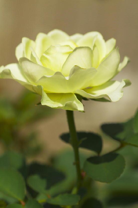 ミニ薔薇-646
