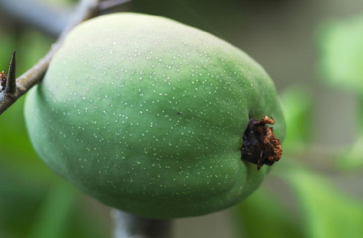 木瓜の実-692