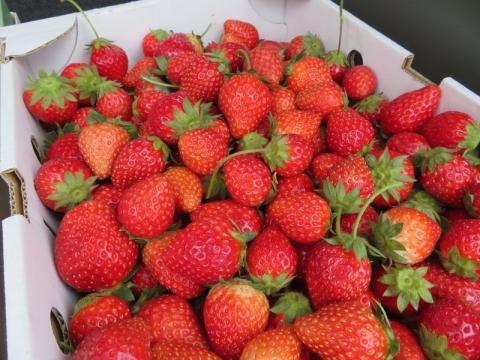 イチゴ摘み2
