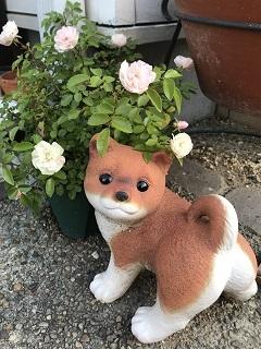 小さな庭・小春とミニバラ