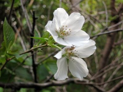 180407-61=ソメイヨシノの花 a客室前
