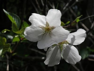 180408-11=ソメイヨシノの花 a客室前