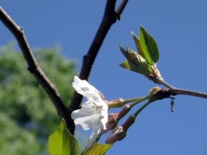 180409-14=ソメイヨシノの花 a客室前up