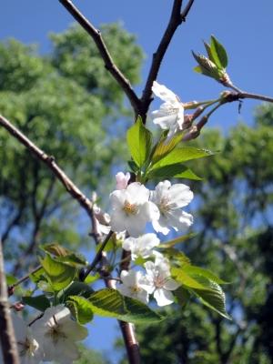 180409-15=ソメイヨシノの花 a客室前