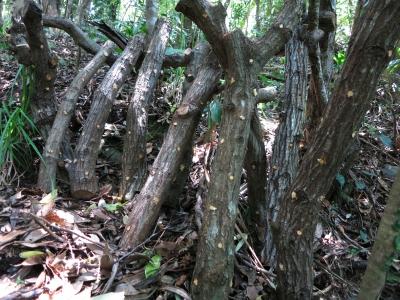 180516-81=椎茸榾木配置 aKUR谷下
