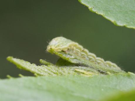 ミドリシジミ幼虫2