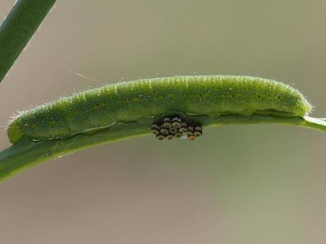 ナガメ卵&モンシロチョウ幼虫か2
