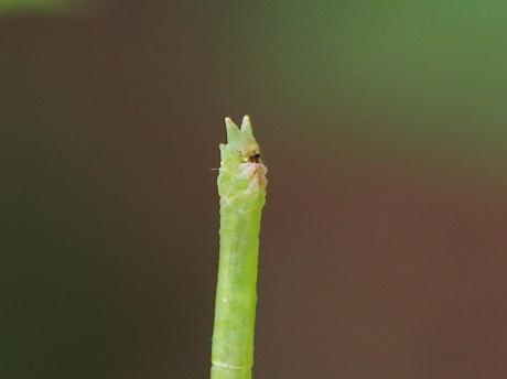 コガタヒメアオシャク幼虫か2