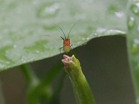 コシロスジアオシャク幼虫&アブラムシ2