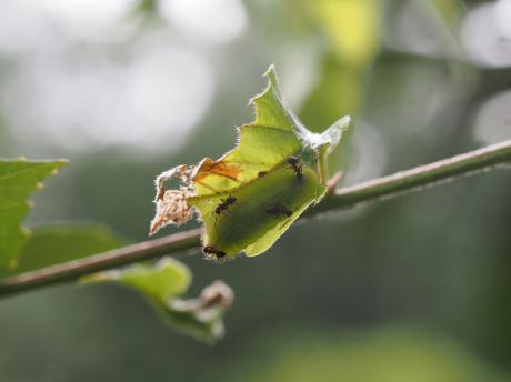 ムラサキシジミ幼虫&アリ
