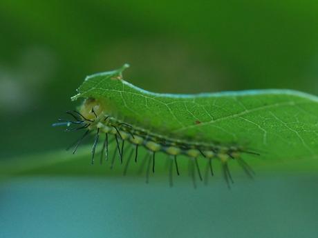 ネジロキノカワガ幼虫