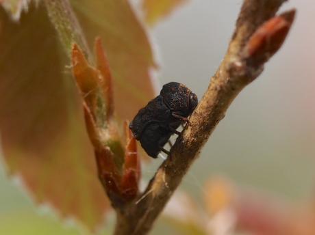 ムシクソハムシ産卵