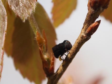 ムシクソハムシ産卵2