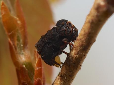 ムシクソハムシ産卵3