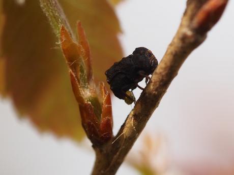 ムシクソハムシ産卵4