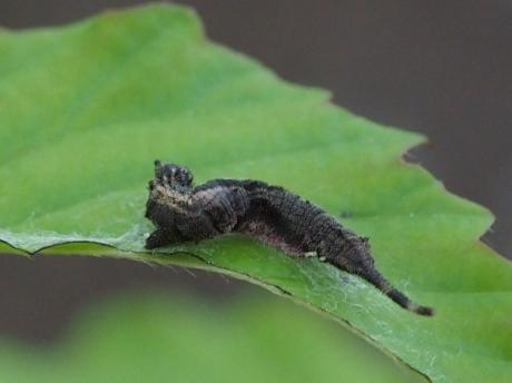 アシベニカギバ幼虫4