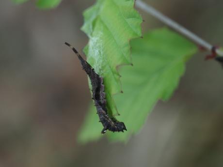 アシベニカギバ幼虫8