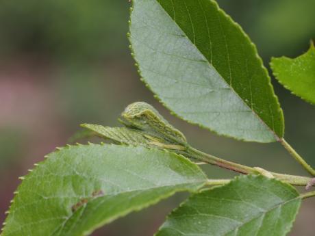 ミドリシジミ幼虫