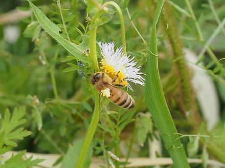 セイヨウミツバチ&花粉粒