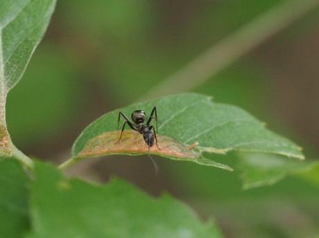 ヒラタアブ幼虫&アリ