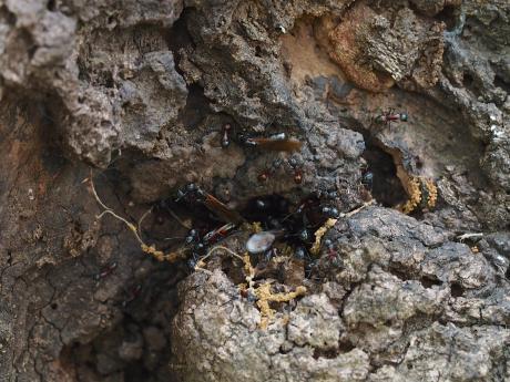 ムネアカオオアリ&羽蟻