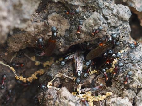 ムネアカオオアリ&羽蟻2