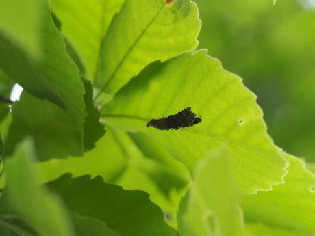 ツマグロフトメイガ幼虫&蓑