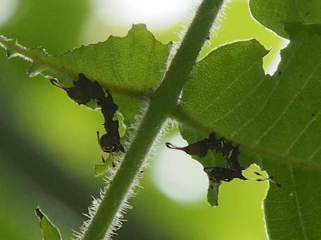 バイバラシロシャチホコ幼虫2