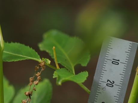 コガタヒメアオシャク幼虫か3