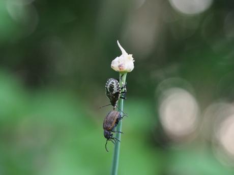 クチブトカメムシ幼虫食事中