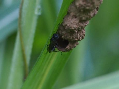 クモバチの一種か&巣2
