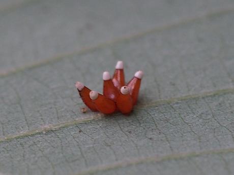 アカサシガメ卵