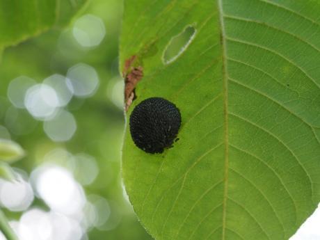 ヘビトンボ卵塊