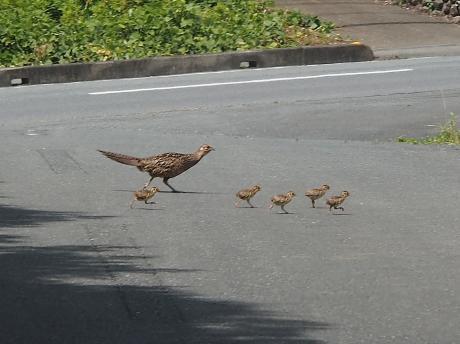 キジ♀&幼鳥