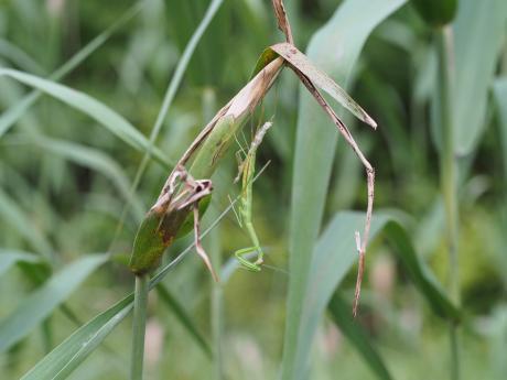 カマキリ幼虫脱皮