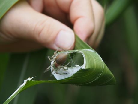 カバキコマチグモ巣&母グモ