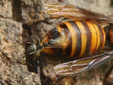 オオスズメバチ&アリ