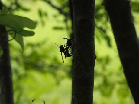 ハチモドキハナアブ交尾